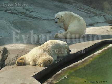 белые медведи заставка