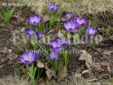Весенние цветы крокусы фото обои фон