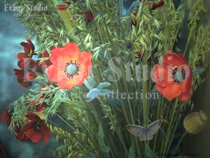 Маки и бабочка, фото обои фон заставка картинка тема рабочего стола