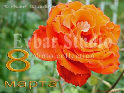Алая роза, фото обои фон заставка картинка тема рабочего стола