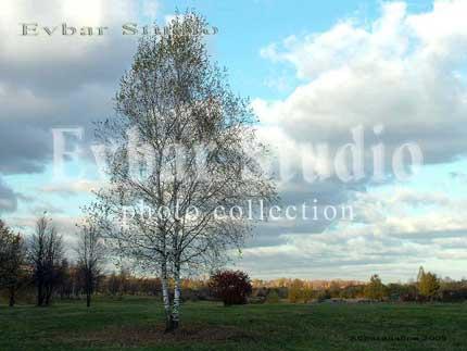 Дерево береза, фото обои фон заставка картинка тема рабочего стола