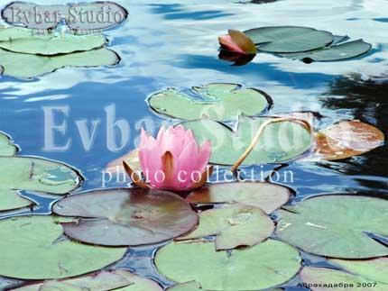 Водяная лилия фото обои фон заставка