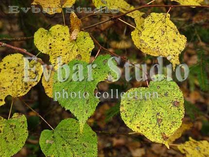 Название желтый осенний лист фото