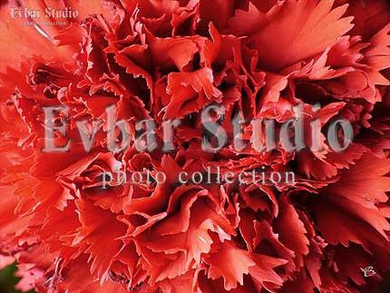 Красная гвоздика, фото обои фон заставка картинка тема рабочего стола