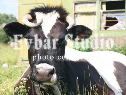 Корова, фото обои фон заставка картинка тема рабочего стола