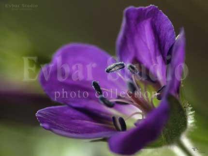 Капли на тычинке цветка герани