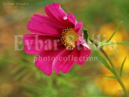 Цветок с клумбы, фото обои фон заставка картинка тема рабочего стола