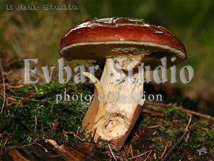 Польский гриб, фото обои фон заставка картинка тема рабочего стола
