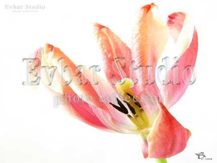 Красный цветок на белом фоне, фото обои фон заставка картинка тема рабочего стола